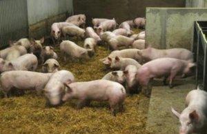 盼过节,节来了,猪价涨了吗?