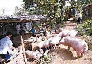 养猪场的规模决定了出路?一面是天堂,一面是地狱!
