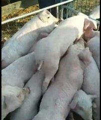 母猪也会叠罗汉,猪舍真是玩的欢!好嗨!