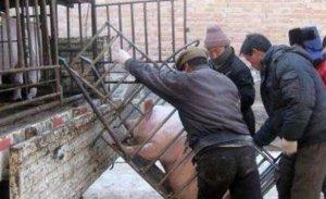 揭开卖猪的秘密!不知道的养殖户都赔惨了