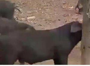 农村大叔养独特黑猪,身上还多出两根肋骨!