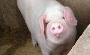 这些猪发烧的经典组方