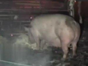 """养猪场起大火浓烟冒出,""""佛系""""二师兄淡定吃着饲料!"""