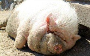 养猪场的淘汰母猪到底去了哪里?看完终于