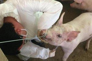 """养猪户,你会打针吗?小心不要让猪""""烦恼""""哦!"""