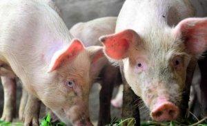 """卖猪是门学问,""""门道""""多,有可能损失上"""
