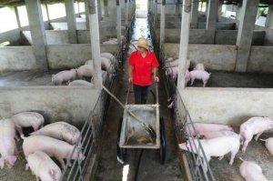 猪该什么时候驱虫?驱虫多少次?很多养殖户都不知道呢