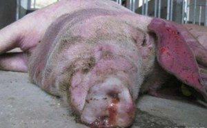 小猪死因不明,死后口鼻流出血色泡沫,这到底是什么病?