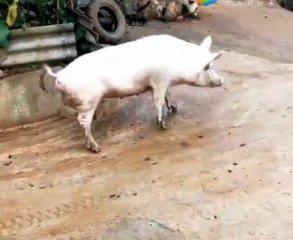 猪:不好意思各位,今天猪蹄子打滑,搞笑!