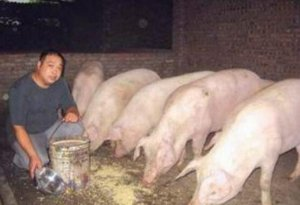 自己给猪做发酵饲料,猪不仅爱吃还能降低饲料成本,划算!