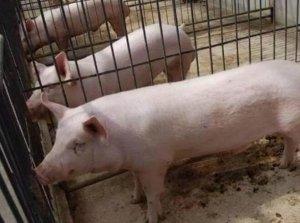 养猪7大忌讳,你注意了,省的不止是精力,还有财富!