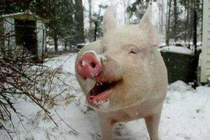 防止猪冻死,先从饲料下手!