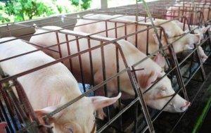 养猪用水泥漏粪板,它的优点是什么?