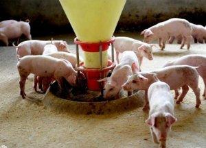 春季养猪应重视提高抵抗力,2018节后养猪提醒