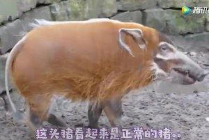 猪是正常的猪,只是总觉得这货没那么简单啊!