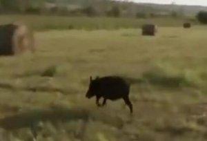 在猪群里抓捕怀孕母猪,差点要了他的命……
