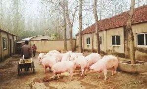 农民在自家承包地养猪合法吗?到底能不能养猪?