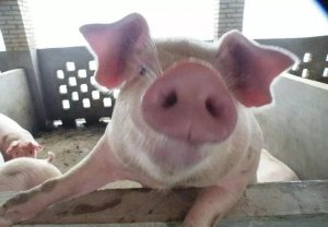 猪为啥6个月就能出栏?农业部为您解析(