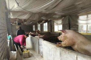 养猪补贴有所调整?金额和申请流程您得知道!