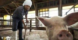 养猪人一年365天即使年初一都要清早开始干活,最后还落个亏本!