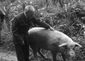 今日生猪市场评析:不养猪了?大叔在院子里养起这个,大多数人都不看好