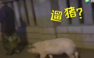 六旬大爷街头遛猪:每天要遛2小时