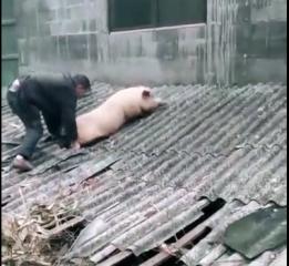 猪:大哥,别杀我!跑到屋顶还是自身难保!