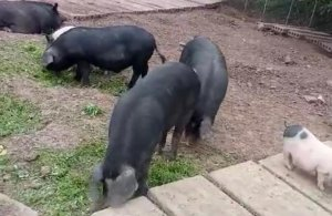 牧实生态黑土猪,这样的猪肉一定很好吃!