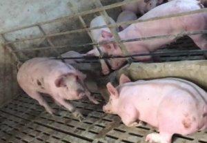 猪场小视频,猪场还有漏缝板,干净!