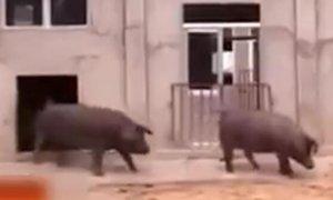母猪容易怀孕的秘密 只需多加一种自制饲料