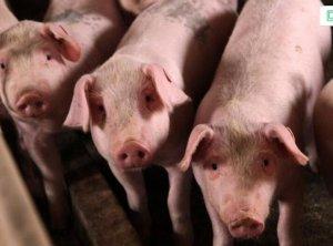 猪价上涨不是痴人说梦