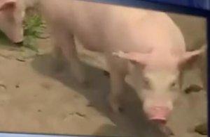 大棚养猪--新型养猪模式,网友真是大写的佩服!