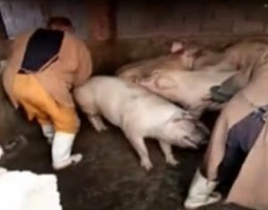 实拍猪场两人轻松将猪拉出、装车、上称……