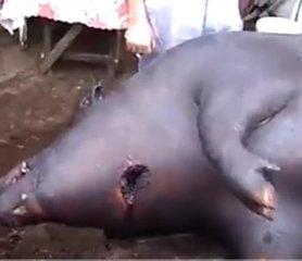 俄罗斯农村杀435公斤大肥猪,大开眼界……