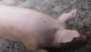 用这种方法杀猪,看着让人心疼……
