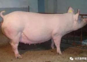 养猪知识:母猪合圈方法 检验母猪是否怀孕方法