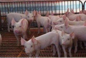 30斤小猪高烧,身上出血点,7天死了60多头,养殖户知道什么病吗