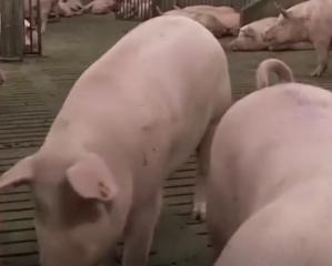 """中国养猪业离不开散养户,照搬美国养猪模式,只会""""水土不服"""""""