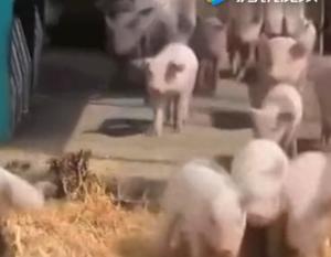 农村人养猪,必须满足4个条件,首先就是得交税