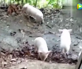 听说猪价跌了,不知道这群小猪能卖多少钱一斤