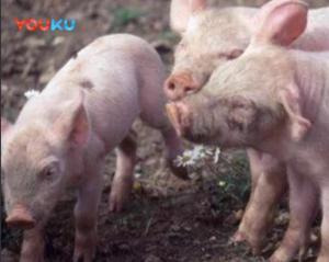 生猪价格正在持续下跌, 这个猪价涨势真的停止了吗?
