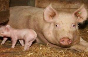 养猪多年!总结的4个猪场常用技术管理问题!很详细