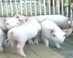夏天到了,你知道如何建设猪舍和,猪场消毒了吗?
