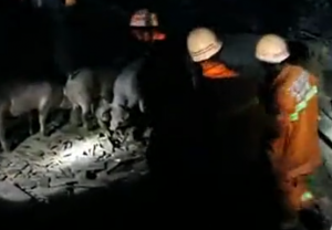 猪舍坍塌四百肥猪被埋 消防急救二师兄
