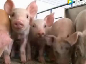 说到猪肉价,真是农民一把泪,为什么会掉到养殖成本以下?