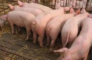 关于新引进后备母猪,我们该注意这些问题才不疑惑!