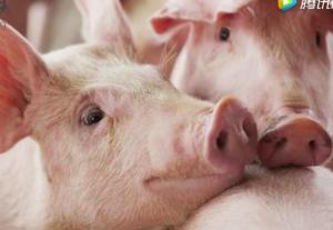 6月猪价是涨还是降?这里有你想要知道的答案!