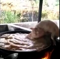 谁说死猪不怕开水烫,原来活猪也一样啊