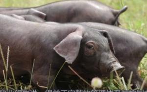 许多发达国家养猪业:形成了科学化管理模式,得益于完整管理体系!