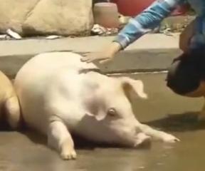 这种用茶叶喂养还瘦身过的猪非常抢手,价格还高,肉特别香